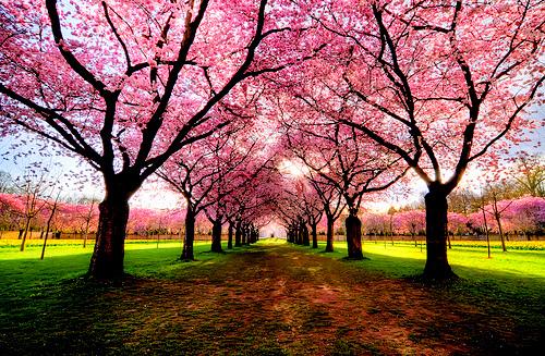 Bucket List: Cherry Blossoms – Japan