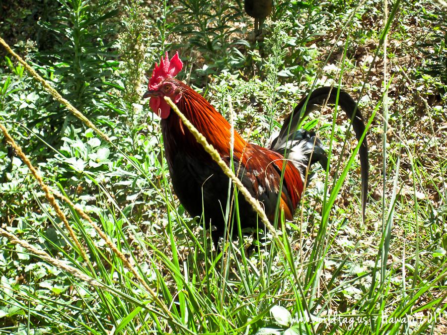 Mobster Rooster